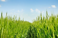Young ears of grain on the background of blue sky Stock Images