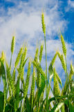 Young ears of grain on the background of blue sky Stock Photos