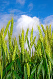 Young ears of grain on the background of blue sky Royalty Free Stock Images