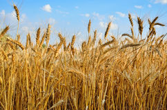 Young ears of grain on the background of blue sky Royalty Free Stock Photo