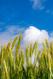 Young ears of grain on the background of blue sky Stock Photo