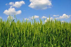 Young ears of grain on the background of blue sky Royalty Free Stock Photography