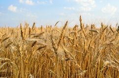 Young ears of grain on the background of blue sky.  Stock Photo