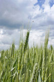 Young ears of grain Royalty Free Stock Photography