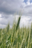 Young ears of grain Stock Photography