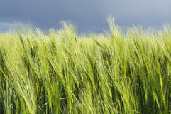Young ears of wheat against backdrop of lightning sky Stock Image