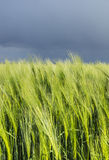 Young ears of wheat amid gloomy sky Royalty Free Stock Photo