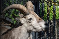Young east caucasian tur male on the stone. Latin name - Capra cylindricornis with beautiful horns stock image