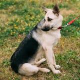 Young East European Shepherd dog sitting in green Stock Photo
