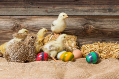 Young easter chicks in the nest Stock Image