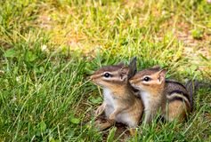 Young Eastern Chipmunk pair in green grass. Young Eastern Chipmunks, Tamias striatus, in green grass - cute and funny animals in the Spring.  Baby animals in the stock photography