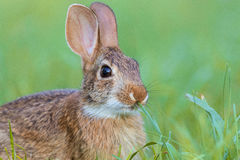 Young Eastern Cottontail Rabbit, Sylvilagus floridanus, in lush green grass Royalty Free Stock Photography