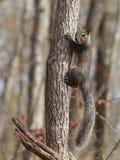 Young eastern gray squirrel Stock Photos