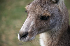 Young Eastern Grey Kangaroo Stock Photography