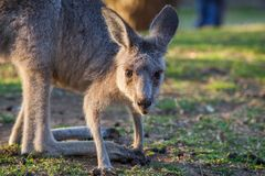 Young Eastern grey kangaroo portrait,. Young Eastern grey kangaroo portrait Stock Photo