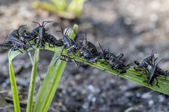 Baby Eastern Lubber Grasshoppers on a plant. Young Eastern Lubber grasshoppers, Romalea microptera, seek high ground on a plant in Holly Hill, Florida Stock Images