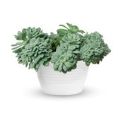 Young Echeveria a potted plant  over white. Houseplant - young Echeveria a potted plant  over white Stock Photo