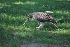 Young ed tail hawk eating prey Stock Images