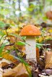 A young Edible Forest Mushroom orange-cap Boletus (Leccinum aurantiacum) Increased In the Autumn Forest Stock Image