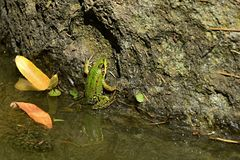 Young edible frog Pelophylax esculentus also called common water frog or green frog sunbathing on stone column in water pond right Royalty Free Stock Photography