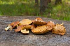 Young Edible Mushrooms Suillus Luteus Stock Images