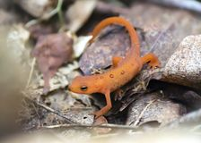 Bright Orange Newt On Brown Leaves Stock Photography