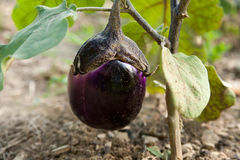 Young eggplant fruit growing in the garden Royalty Free Stock Photos