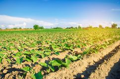 Young eggplants grow in the field. vegetable rows. Agriculture. farmlands. Landscape with agricultural land stock image