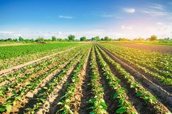 Young eggplants grow in the field. vegetable rows. Agriculture. farmlands. Landscape with agricultural land royalty free stock images
