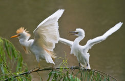 Young egret crying for food Royalty Free Stock Photography