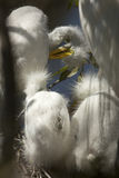 Young egrets in a nest at a rookery in Florida. Royalty Free Stock Image