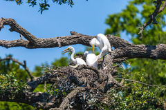 Young Egrets in Their Nest Stock Photo