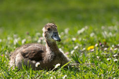 Young Egyptian Goose Royalty Free Stock Photography