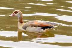 Young egyptian goose on the river royalty free stock image