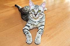 Young egyptian mau. Cat looking Royalty Free Stock Images