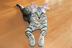 Young egyptian mau Stock Photo