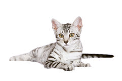 Young Egyptian Mau male. Egyptian Mau cat on white background Stock Images