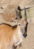 Young Eland royalty free stock photos