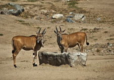 Young Eland Royalty Free Stock Photography