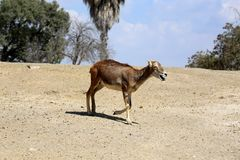 Young Eland Antelope Royalty Free Stock Photo