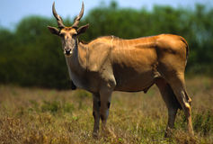 Young Eland Bull Royalty Free Stock Photography