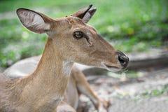 Young eld deer Stock Photography