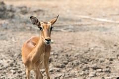 Young eld`s deer Stock Photography
