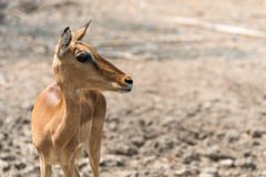 Young eld`s deer. Wildlife Young eld`s deer in park Royalty Free Stock Image