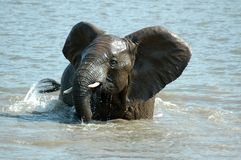 Young Elephant. Royalty Free Stock Photography