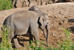 Young elephant Royalty Free Stock Photography