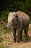 Young elephant. Stock Image