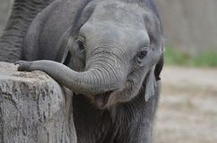 Young elephant Stock Image