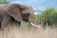 Young Elephant. Young African Elephant in the Pilanesberg National Park royalty free stock photography