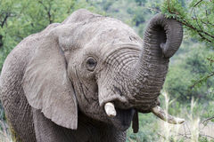 Young Elephant. Young African Elephant in a South African National Park stock image
